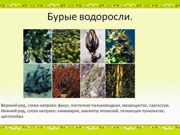 Бурые водоросли из которых получают альгинат натрия