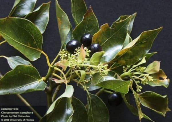 Плода камфорного дерева