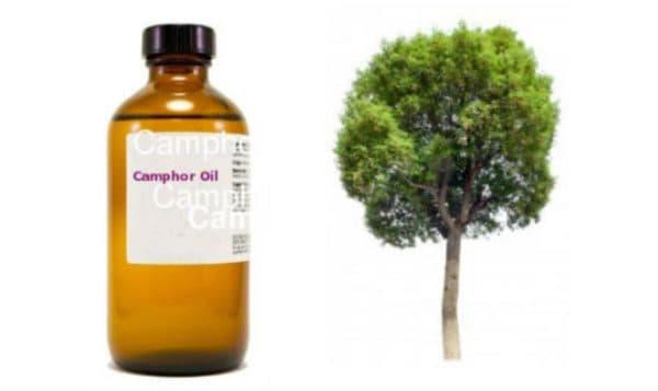 Камфорное дерево из которого получаю масло
